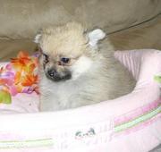 Beautiful Sable Pomeranian Puppies
