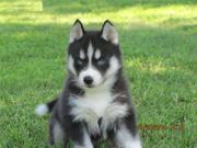 KC Reg Siberian Husky Puppies for Adoption