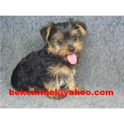 FREE YORKSHIRE TERRIER ON ADOPTION