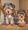 Christmas Top Quality Teacup Yorkie Puppies For Adoption!